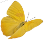 A yellow butterfly